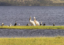Pelicans and other waterbirds stock image