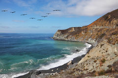 The pelicans over azure water Stock Image