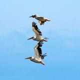 Pelicans over beautiful blue sky Stock Image
