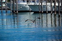 Pelicans over the Marina Royalty Free Stock Photography
