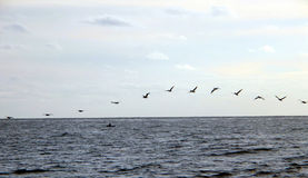Pelicans over the Pacific. A flock of Pelicans flying over the pacific ocean Royalty Free Stock Image
