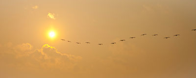 Pelicans panorama Royalty Free Stock Photography