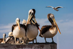 Pelicans in Paracas, Peru. Flock of pelicans in Paracas Peninsula, Peru Royalty Free Stock Image