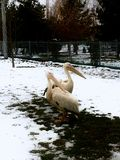 pelicans fotografía de archivo