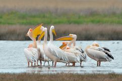 Pelicans (pelecanus onocrotalus) Stock Photos
