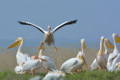 Pelicans (pelecanus onocrotalus) Royalty Free Stock Images
