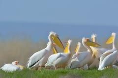 Pelicans (pelecanus onocrotalus) Stock Images