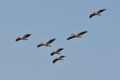 Pelicans (pelecanus onocrotalus) Stock Photos