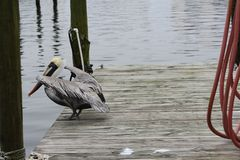 Pelicans. On a pier in Destin Florida royalty free stock image
