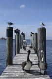 Pelicans perched on a dock Stock Photos