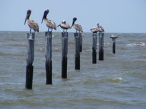 Pelicans Perched on Posts Stock Photography