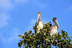 Pelicans perched in a tree in the Florida Everglades. Bright blue sky background stock photography