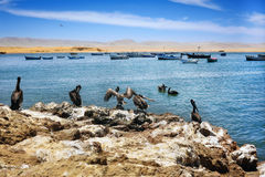 Pelicans on Peruvian coastline. South America, Peru, Paracas National Park royalty free stock photo