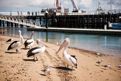 Pelicans on Phillip Island in Victoria, Australia. Pelicans during feeding at San Remo on Phillip Island in Victoria, Australia on a clear spring day Stock Photo