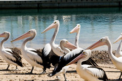 Pelicans on Phillip Island in Victoria, Australia Stock Photo