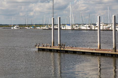 Pelicans on Pier with Marina in Background Royalty Free Stock Image