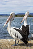 Pelicans on pier Royalty Free Stock Photo