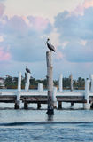 Pelicans on the pier at sunset in Caribbean. Pelicans on the wooden pier at sunrise in Isla Mujeres in Caribbean, Mexico Stock Images
