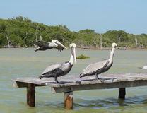 Pelicans on pier Royalty Free Stock Image