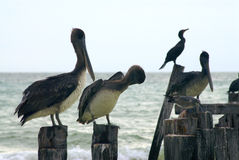Pelicans on Pilings. A group of pelicans and seabirds sit on old pier pilings Royalty Free Stock Images
