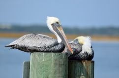 Pelicans on pilings Stock Photos