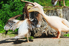 Pelicans Pink Are A Large Water Birds. Two Pelican Fighting For Food. Royalty Free Stock Photo