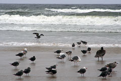 Pelicans at Pismo Beach, California Royalty Free Stock Photos
