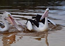Pelicans at Play royalty free stock photos