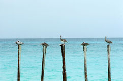 Pelicans on Poles. Five pelicans resting on poles Royalty Free Stock Photos