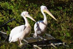 Pelicans in the pond. A pair of pelicans stands on a wooden bridge in the water stock photos