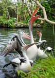 Pelicans in a pond in park Stock Image