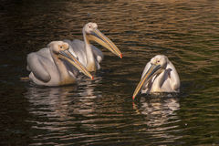 Pelicans in the Pond Royalty Free Stock Photography