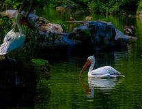 Pelicans on a pond in a zoo in China. Pelicans lounging on a pond in a zoo in Chongqing in China royalty free stock photos