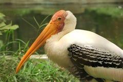 Pelicans portrait Stock Image