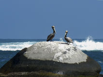 Pelicans posing in the rocks Royalty Free Stock Photo