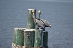 Pelicans on posts Stock Images