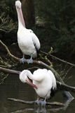 Pelicans. Preen themselves on a river bank stock photo