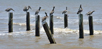 Pelicans preening on jetty Royalty Free Stock Photos