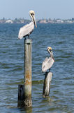 A Pelicans on Pylons royalty free stock images