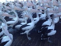 Pelicans. Queueing in orderly fashion during feeding time Royalty Free Stock Images