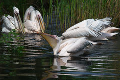 Pelicans in the reed Royalty Free Stock Photos