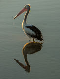 Pelicans reflection Royalty Free Stock Image