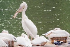 Pelicans relaxing royalty free stock photos