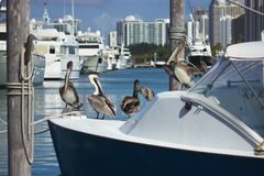 Pelicans relaxing Stock Photography