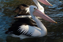 Pelicans. Are relaxing on the water stock photography
