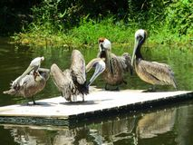 Pelicans relaxing on wooden float. These pelicans are at a wildlife sanctuary. They were relaxing and grooming there feathers royalty free stock photo