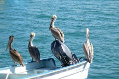 Pelicans at rest. Group of four pelicans perched on a boat Stock Images