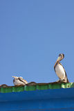 Pelicans at Rest Stock Photo