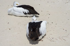 Pelicans at Rest. Pelicans resting on remote beach at Rottnest Island in remote Western Australia stock photos