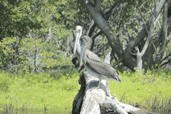 Pelicans resting on a branch. Stock Photos